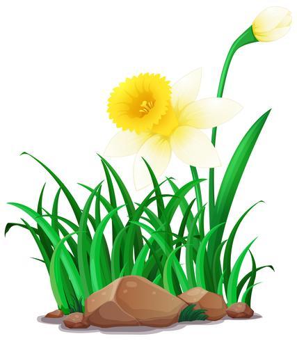 Flores de Narciso branco no mato