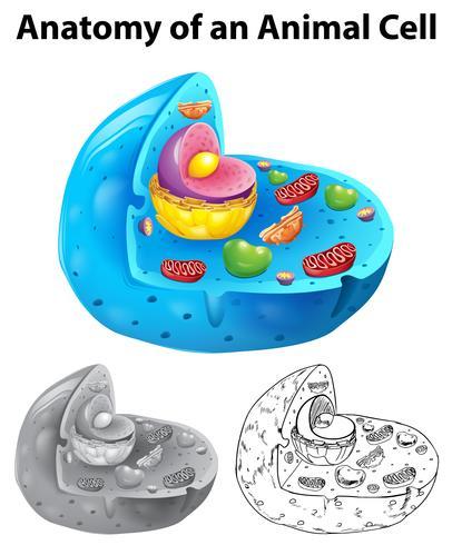 Anatomía de la célula animal en tres estilos de dibujo diferentes.