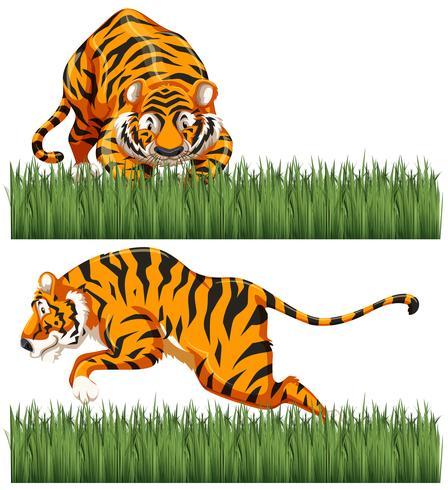 Deux scènes de tigre sauvage