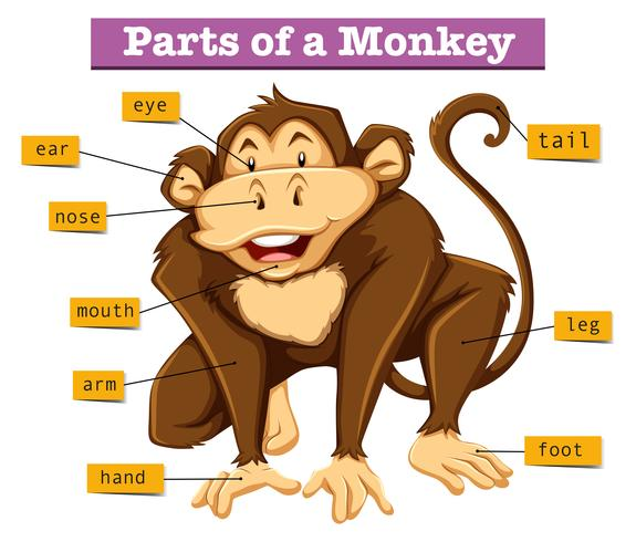 Diagrama que muestra partes de mono