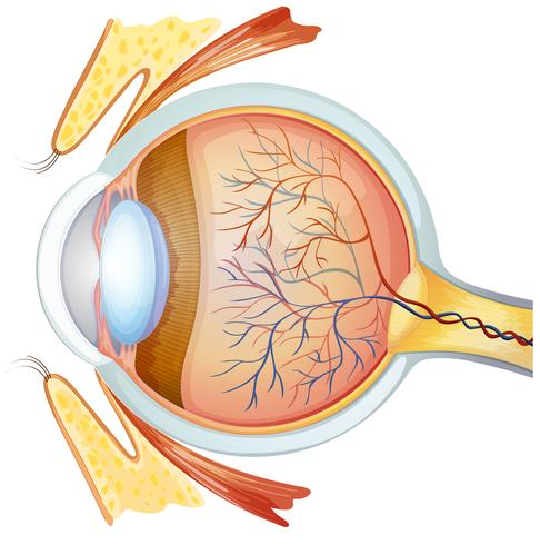 Seção transversal do olho humano