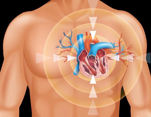 Mänskligt hjärta i närbildsdiagram