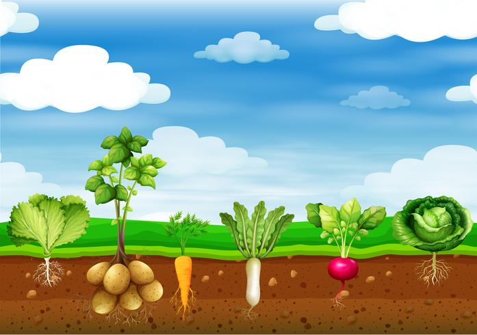 Fresh vegetables in the ground