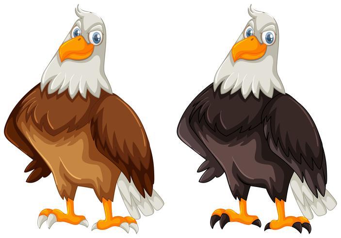 Två örnar med brun och svart fjäder