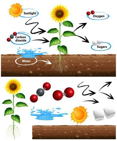 Diagrama mostrando como a planta cresce