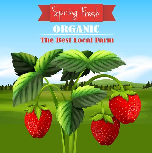 Frische Erdbeeren auf dem Bauernhof