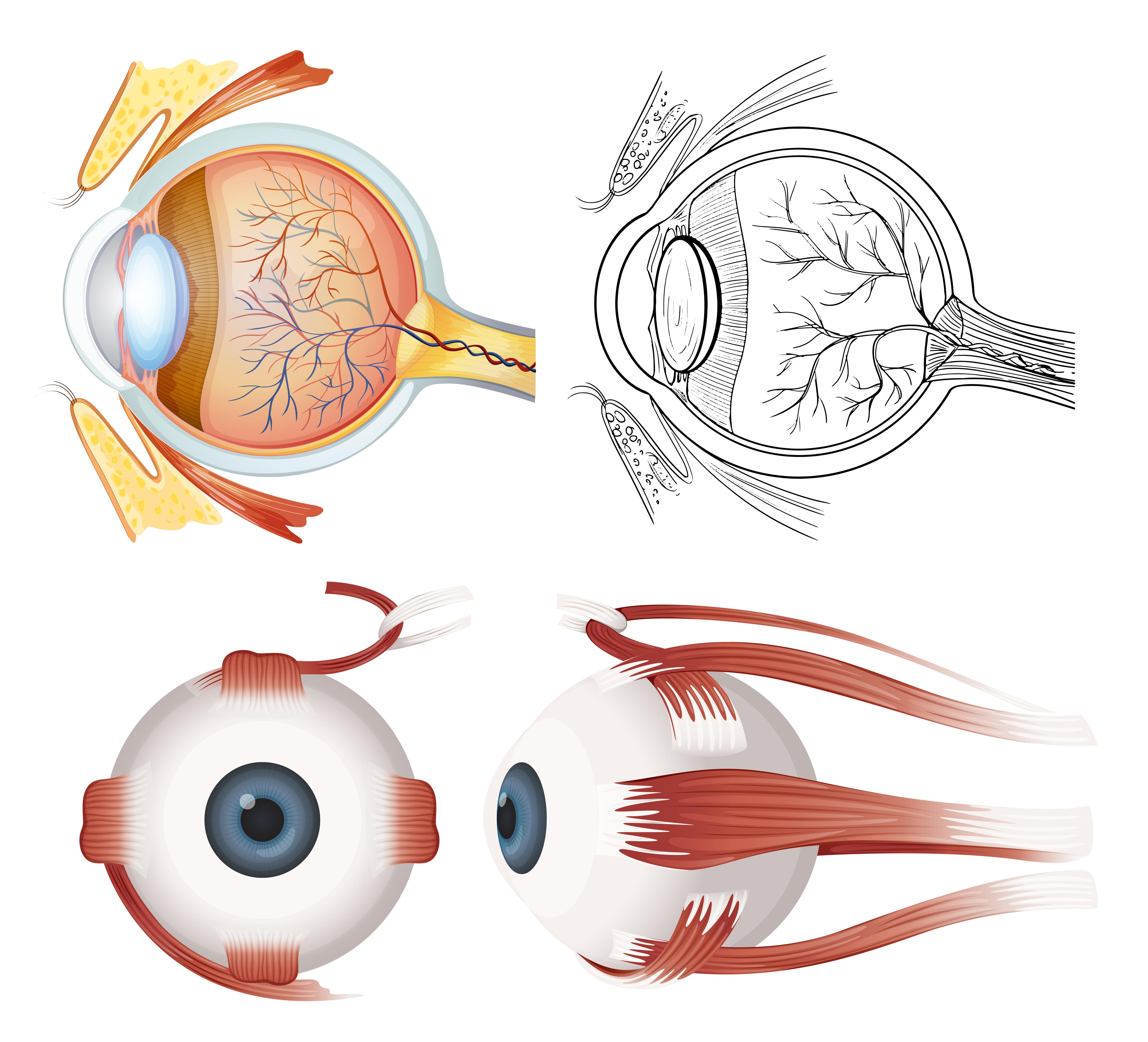 анатомия глаз в картинках данный момент