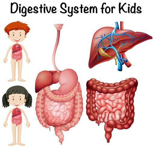 Sistema digestivo para crianças