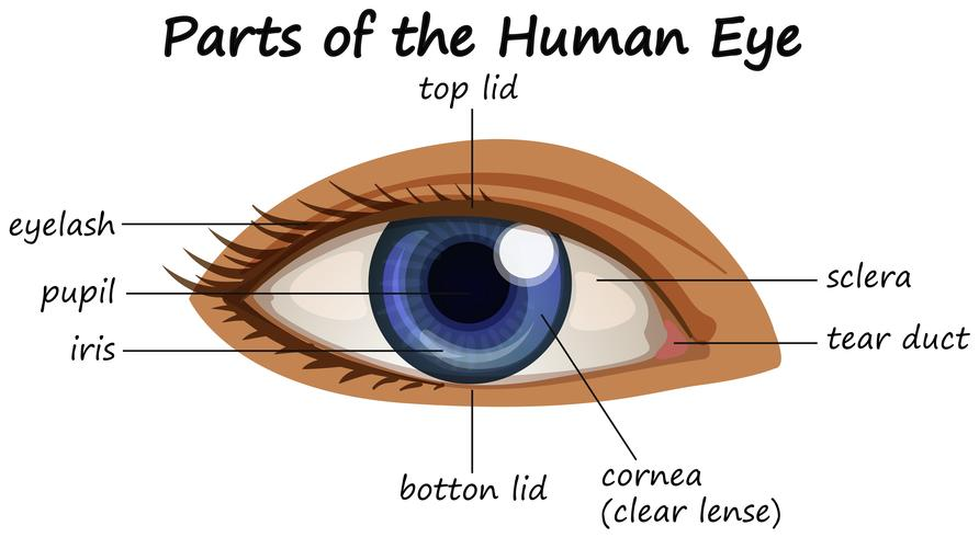 Diagrama mostrando partes do olho humano