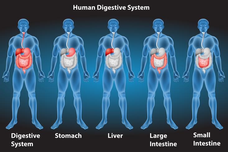 Sistema digestivo vetor