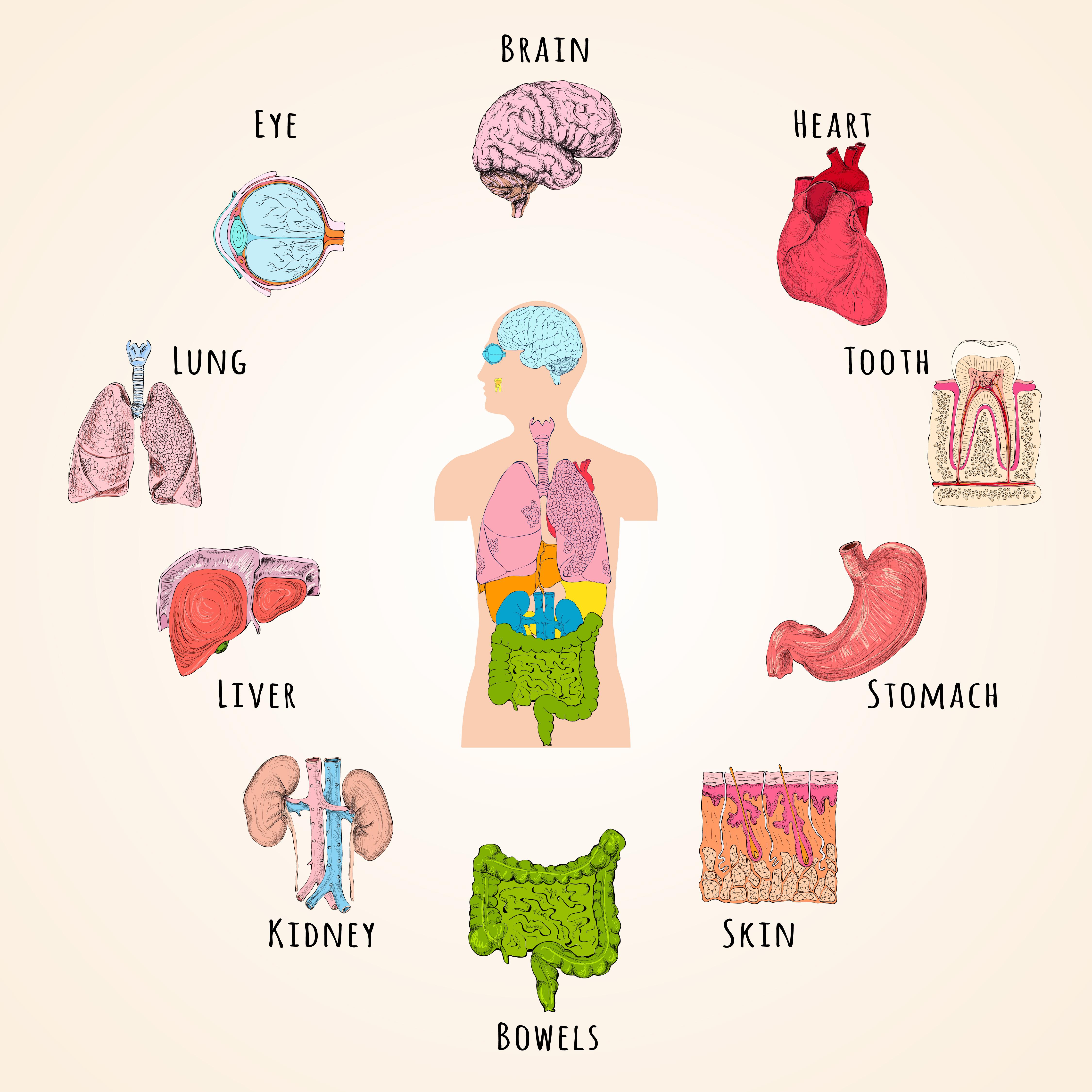 Внутренние органы на английском картинки