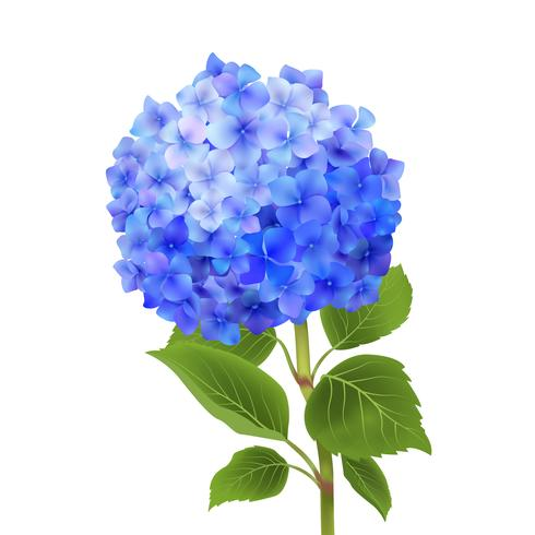 Blaue Hortensie isoliert
