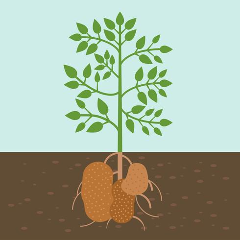 potato plant, vegetable with root in soil texture, flat design vector