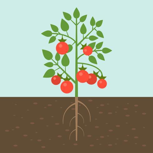 Plantas de tomate, vegetales con raíz en la textura del suelo, diseño plano. vector