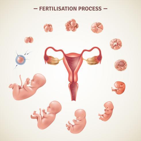 Cartel del proceso de fertilización humana vector