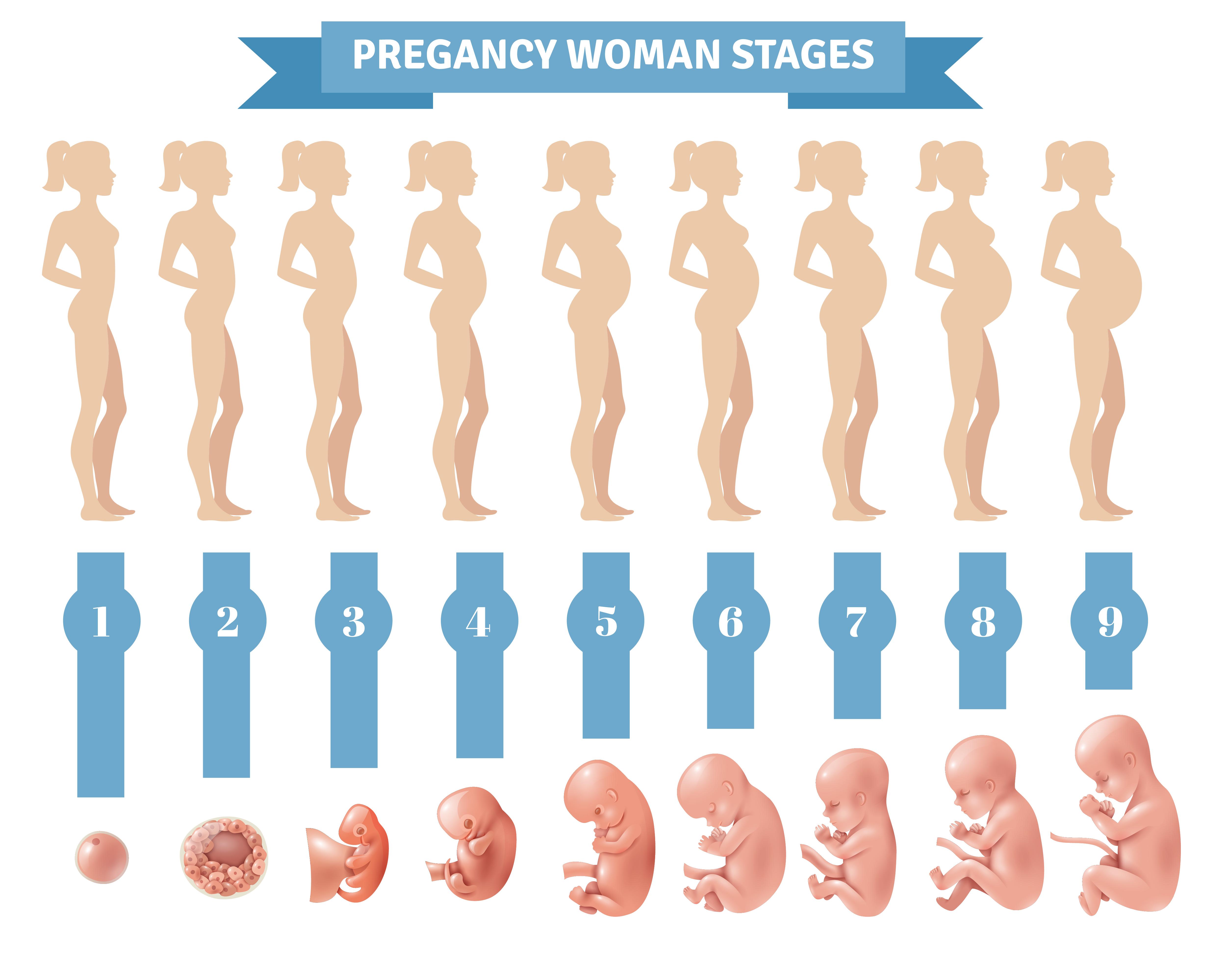 Развитие ребенка при беременности с картинками