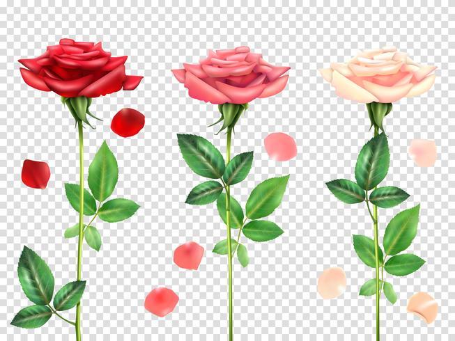 Set de rosas realistas vector