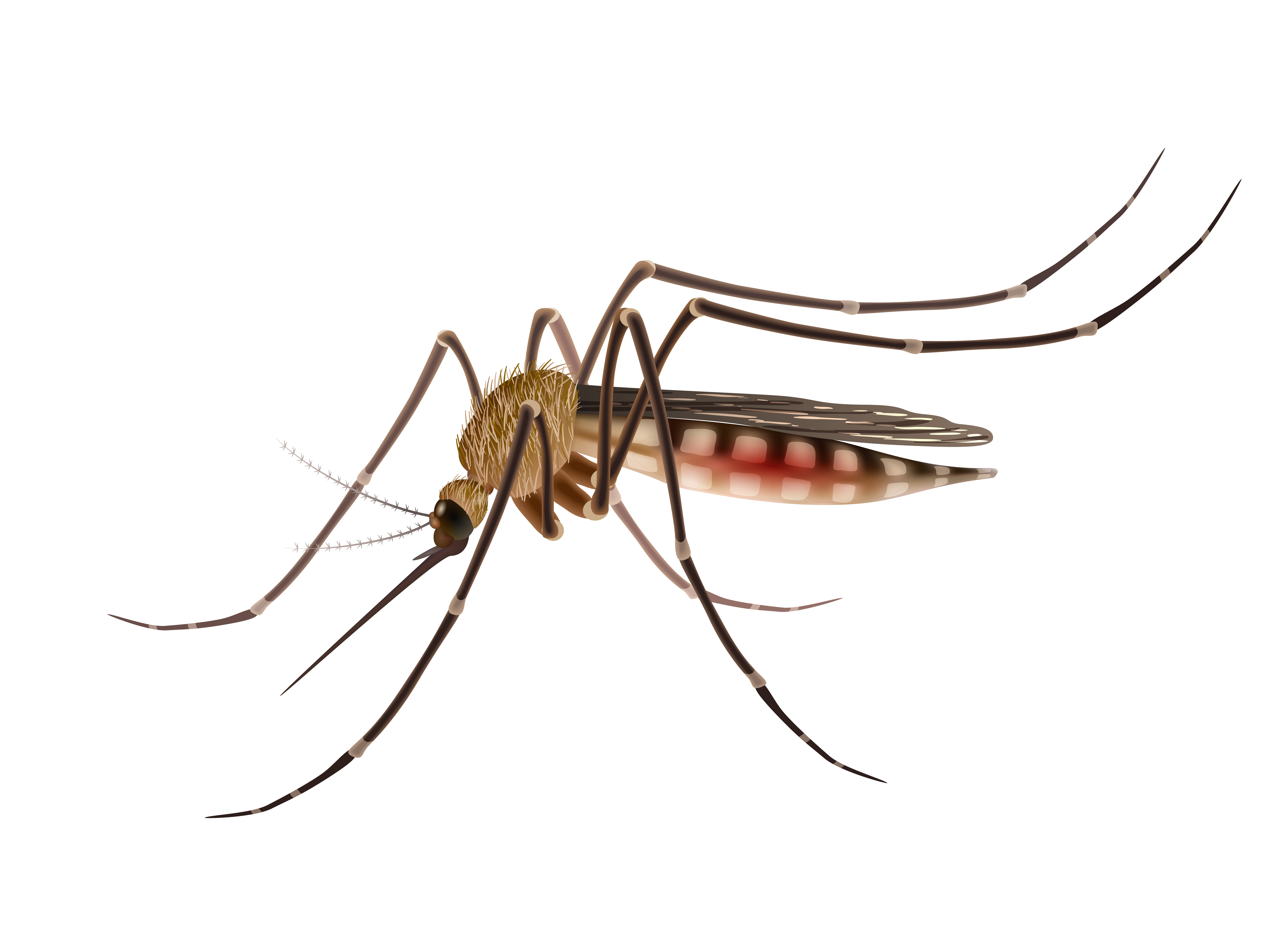 Mosquito Realistic Illustration Download Free Vectors