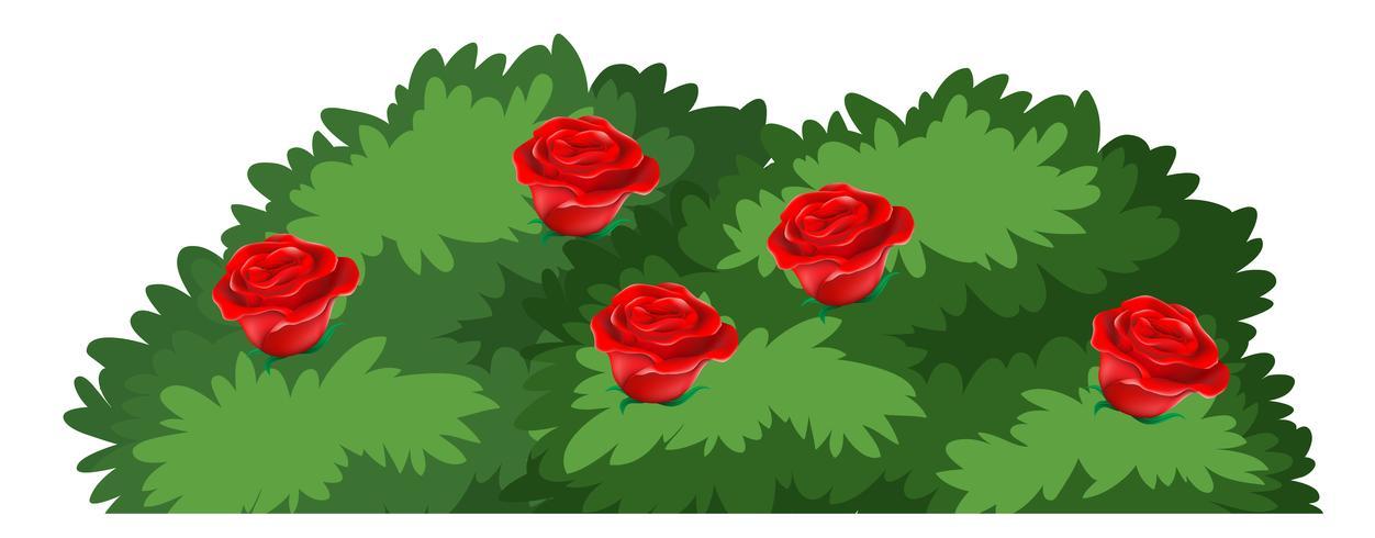 Geïsoleerde rozenstruik op witte achtergrond