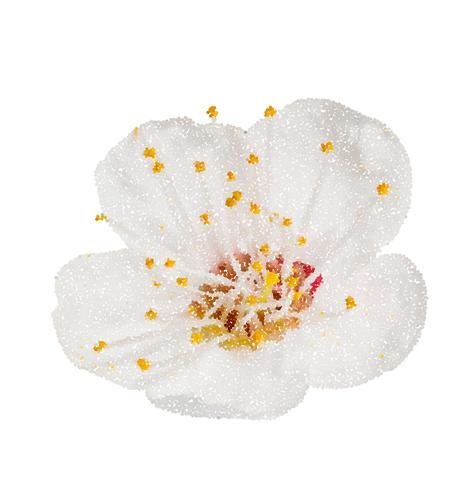 Fleurs de pommier de fleur de printemps a fleuri isolé sur blanc, chemin dans le chemin. Style de point d'illustration vectorielle