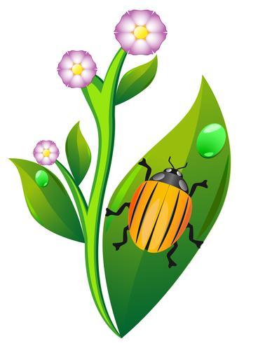 colorado beetle on leaf potato