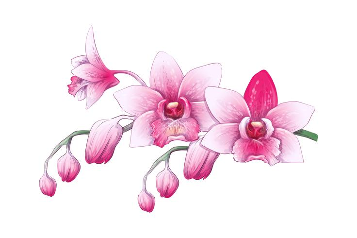 Fije la orquídea del Phalaenopsis, flores rosadas, rojas en el fondo blanco, planta tropical del drenaje digital vector