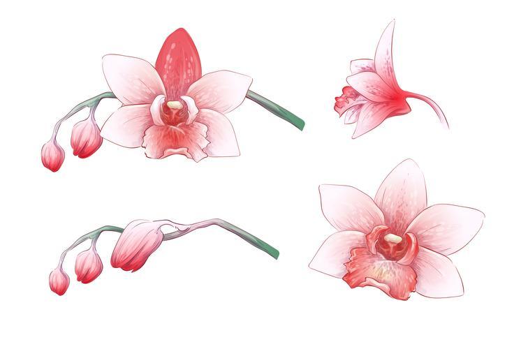 Fije la orquídea del Phalaenopsis, flores rosadas, rojas en el fondo blanco, planta tropical del drenaje digital