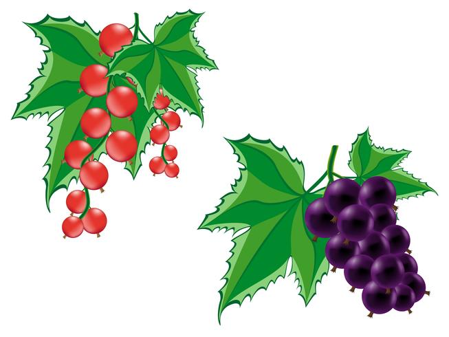 red and black currant vector