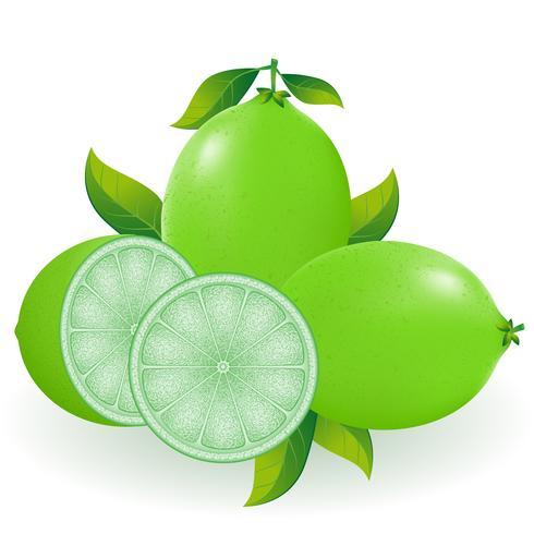 lime vector illustration