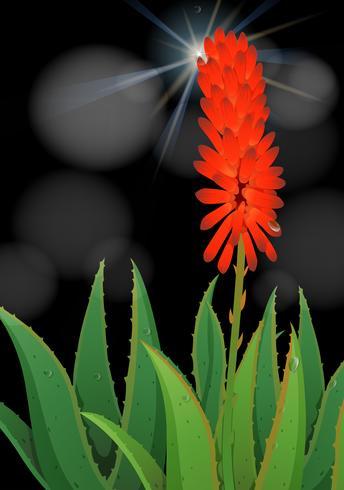 Aloe vera blomma på svart bakgrund
