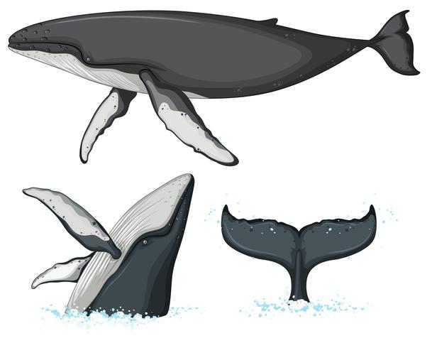 Personagem de baleia-jubarte em fundo branco