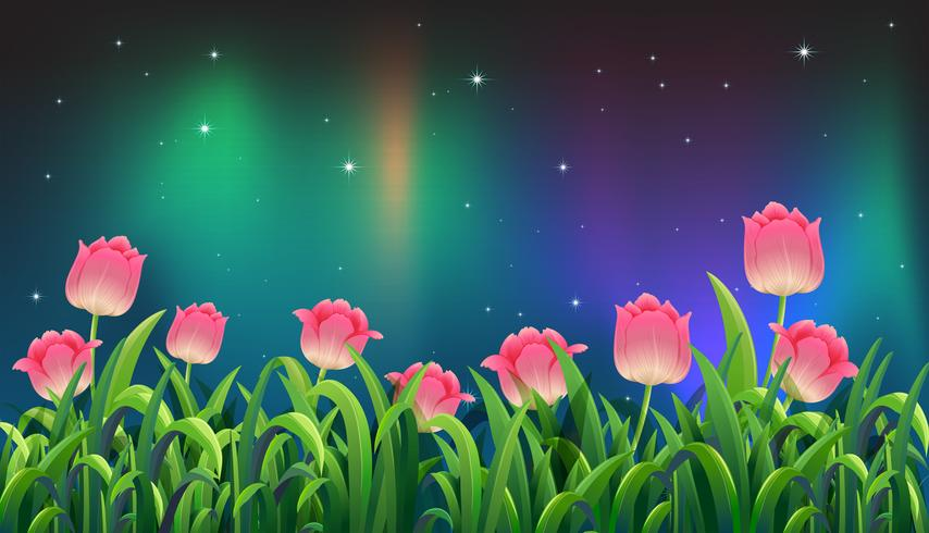 Tulipe rose dans le jardin la nuit