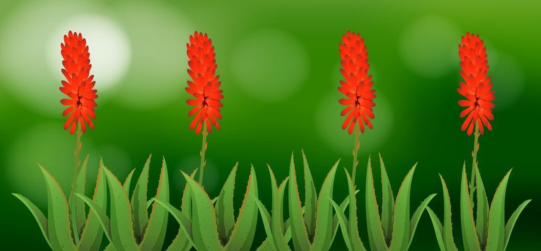 Aloe vera flores no jardim