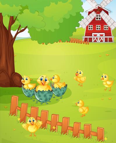 Little chicks on the farmyard