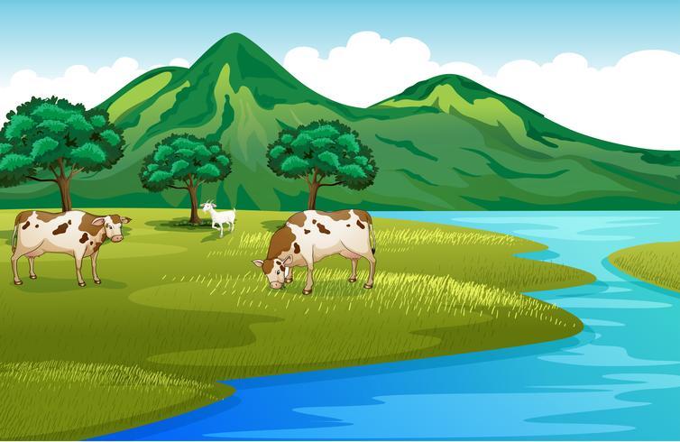 Mucche e capra sulla sponda del fiume