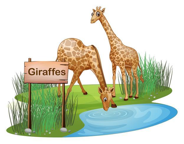 Duas girafas no lago perto de uma tabuleta