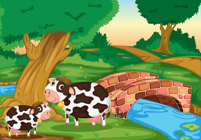 dos vacas