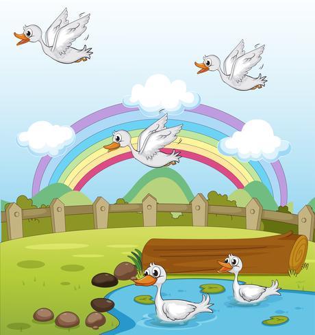 Patos e um arco-íris