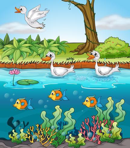 Cisnes e peixes