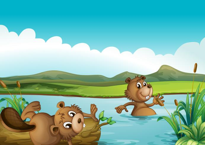 Beavers playing in the river