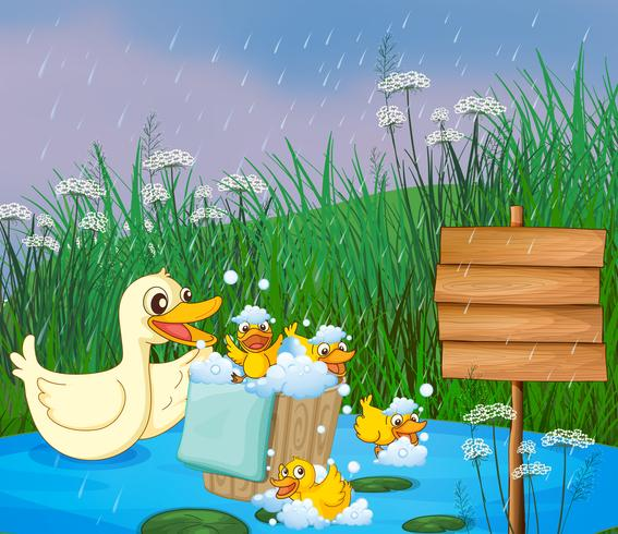 A mother duck with her ducklings playing under the rain