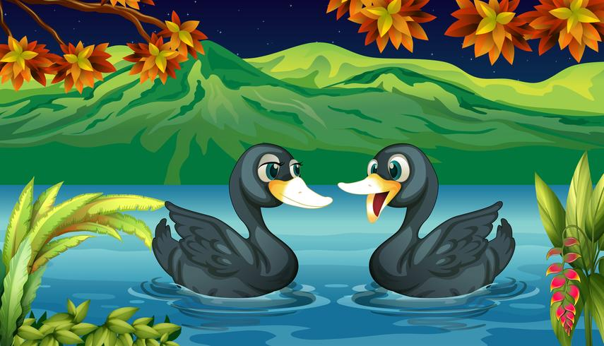 Two ducks in the river