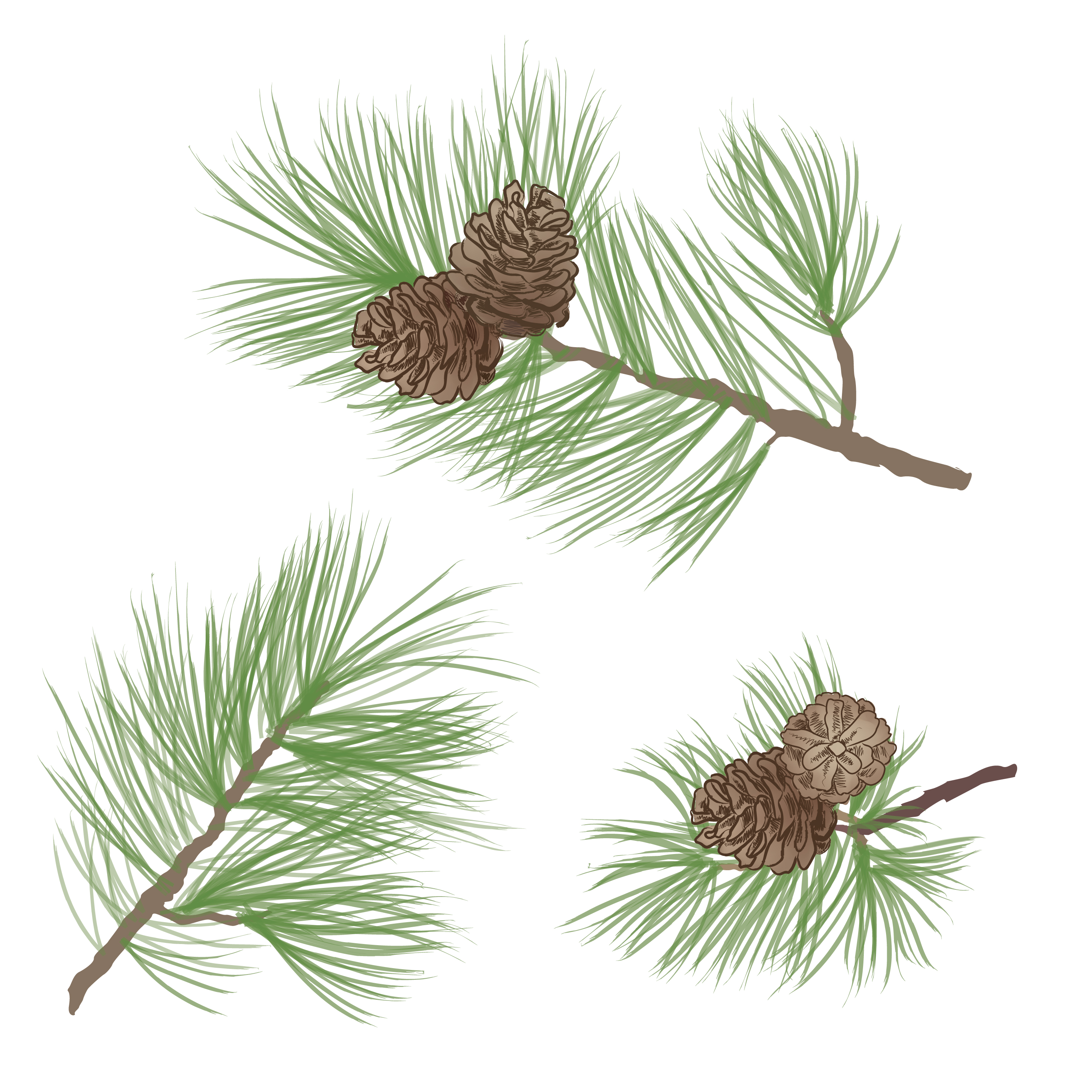 Pinecone. Pine tree branch isolated. Floral evergreen ...