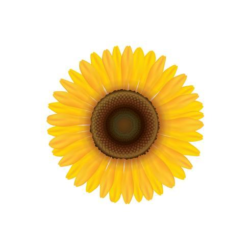Sonnenblume. Sommerblume getrennt. Vecor Abbildung