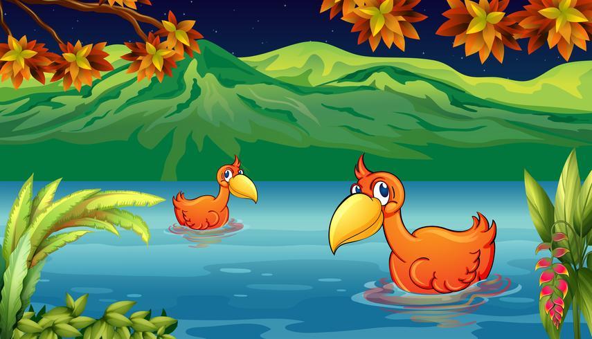 Due anatre che nuotano nel fiume