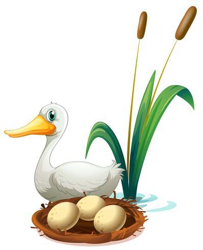 Um pato ao lado do ninho
