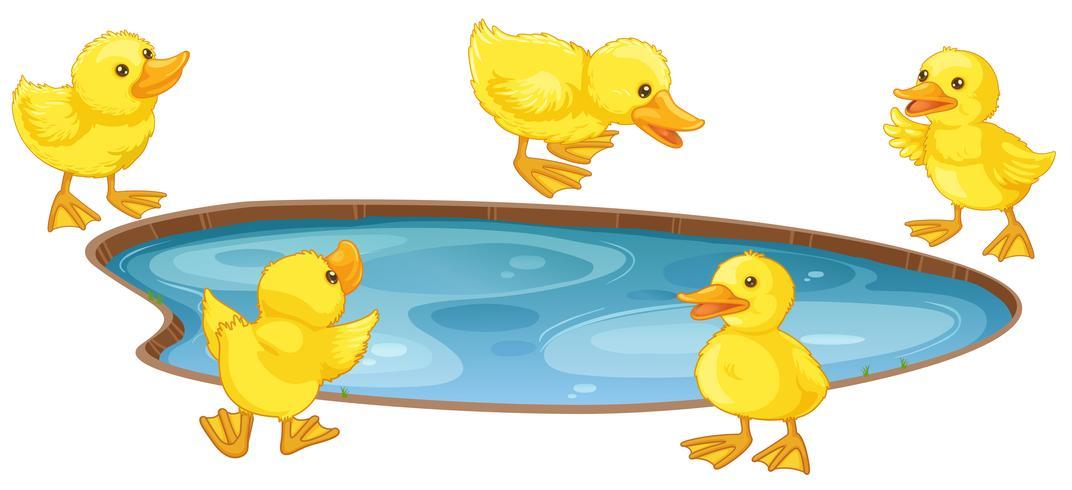 Fünf kleine Enten am Teich