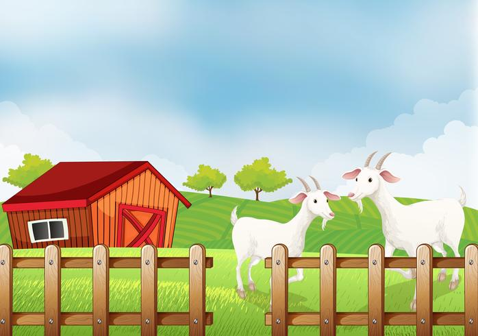 Two white goats at the farm
