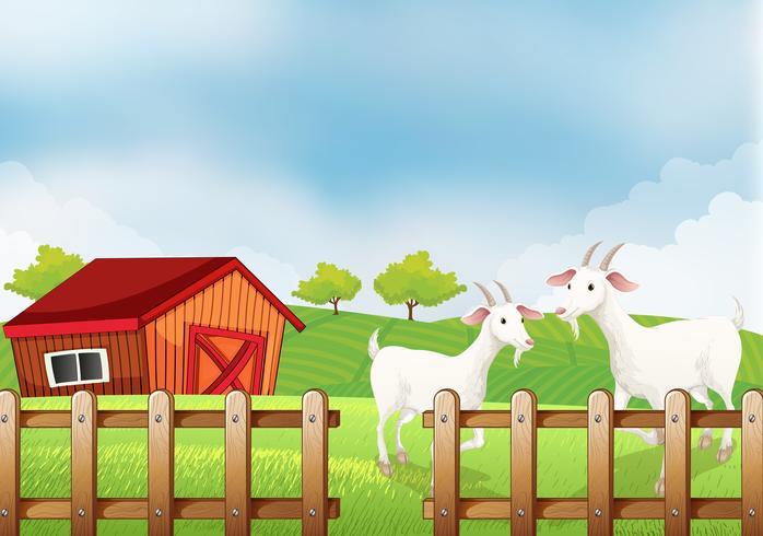 Två vita getter på gården