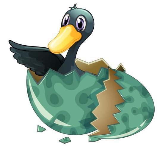 Svart anka kläckande ägg